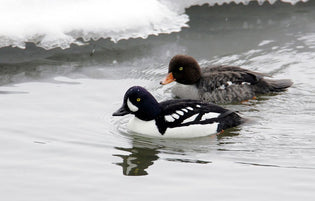 goldeneye-ducks-on-the-river