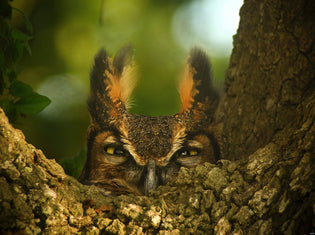 great-horned-owl-hiding-in-tree