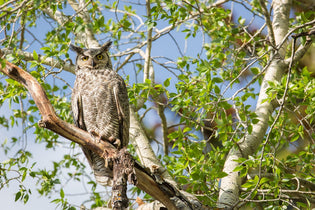 great-horned-owl-in-tree