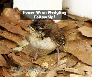 House Wren Fledgling Fun