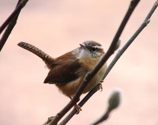 The Peculiar Ways of the House Wren