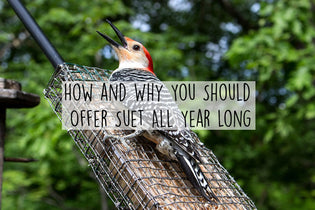 how-and-why-you-should-offer-suet-all-year-long