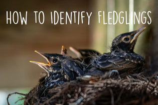 how-to-identify-fledglings