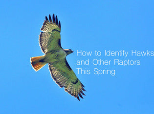 identifying-raptors-in-spring