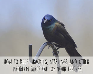 how-to-keep-grackles-and-starlings-out-of-feeders