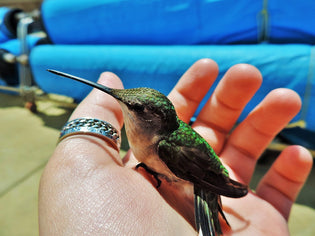 hummingbird-in-the-hand-of-a-rescuer