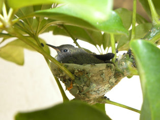 hummingbird-in-nest