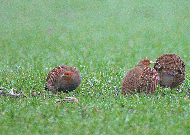 Bringing Back the Hungarian or Gray Partridge to Ontario