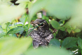 juvenile-robin-in-the-grass