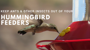 keeping-ants-out-of-your-hummingbird-feeder