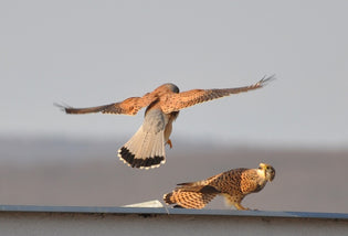 kestrels-mating