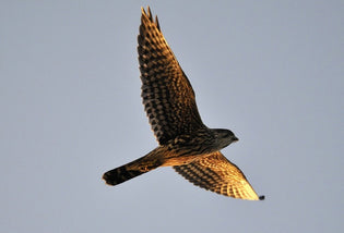 merlin-in-flight