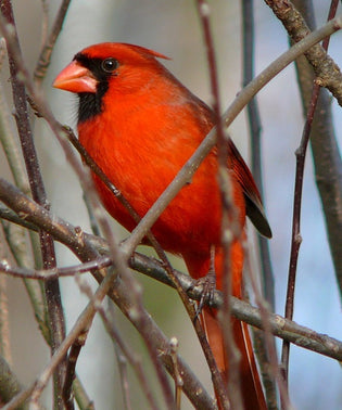 A Few Tips For Attracting Cardinals