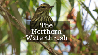 northern-waterthrush