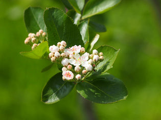 Ontario-chokecherry