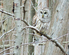 barred-owl-perched