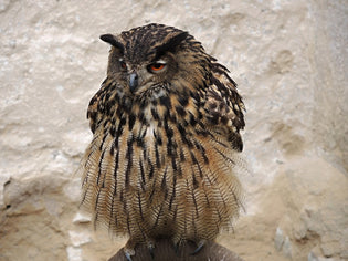 owl-ear-tufts