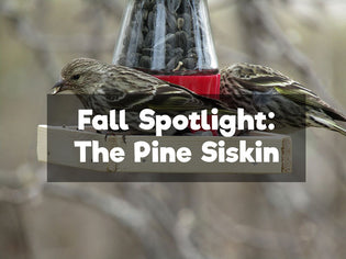 Fall Spotlight – The Pine Siskin