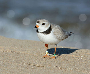 piping-plover-on-the-beach