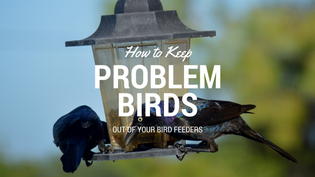 dealing-with-problem-birds-at-feeders