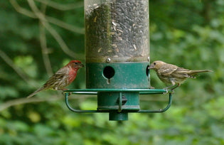 purple-finch-on-feeder