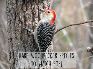 rare-woodpecker-species