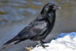 raven-in-snow