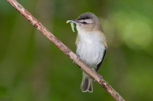 Summer Spotlight – The Red-Eyed Vireo