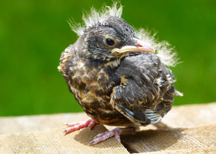 red-robin-chick-with-new-feathers