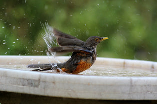 robin-bathing-in-backyard-birdbath