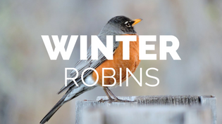 why-robins-stay-for-winter