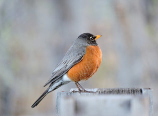 robin-migrating
