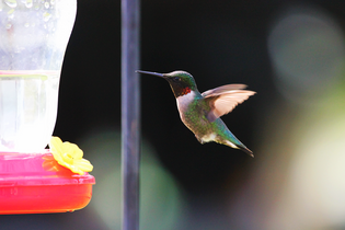 ruby-throated-hummingbird-at-feeder