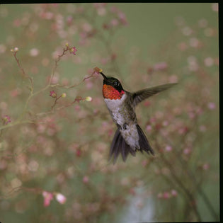 ruby-throated-hummingbird-eating-insects