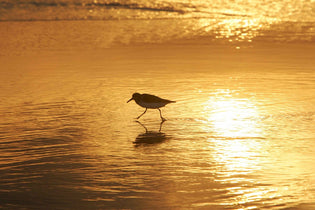 shorebird-on-beach
