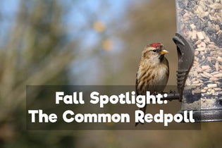 spotlight-common-redpoll
