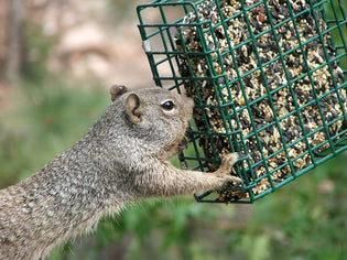 squirrel-eating-from-suet-feeder
