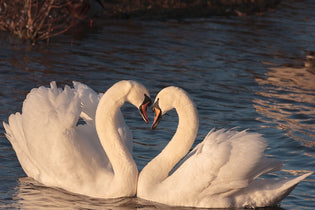 swans-during-spring-mating-season