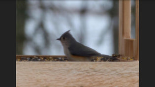 tufted-titmouse-ottawa