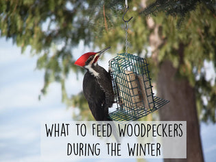 what-to-feed-woodpeckers-in-winter