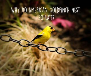 why-american-goldfinch-nest-late-in-the-year