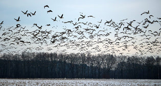 wild-geese-migrating