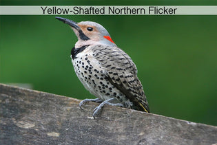 Tips for Identifying Northern Flickers