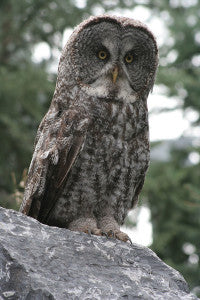 great-grey-owl