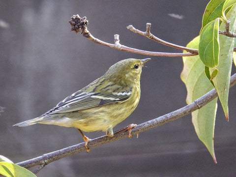 blackpoll-warbler-in-october