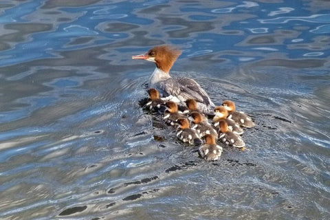 common-mergansers