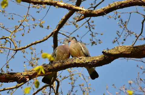 doves-in-spring-mating-season