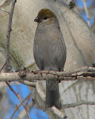 female-grosbeak