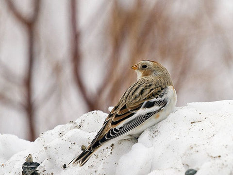 female-snow-bunting-in-winter