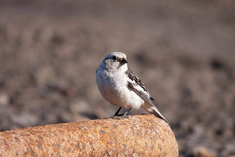 male-snow-bunting